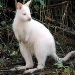 albino-kanguro