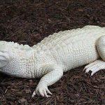 cocodrilo-albino