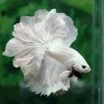 pez betta blanco