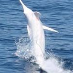 pez espada albino